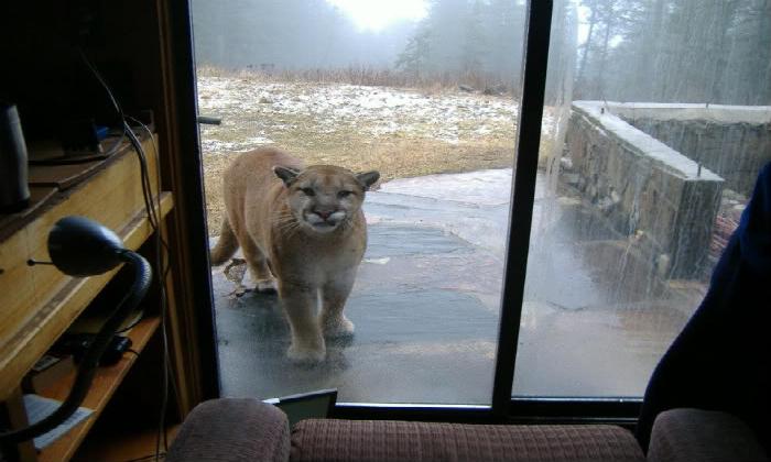 Mountain Lion Photo Mystery Mountain Life