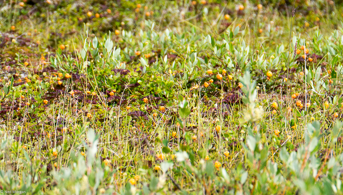 North of Churchill, near the Seal River Heritage Lodge, we found cloudberries in abundance.