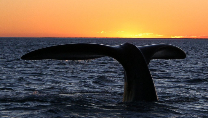 The endangered southern right whale.