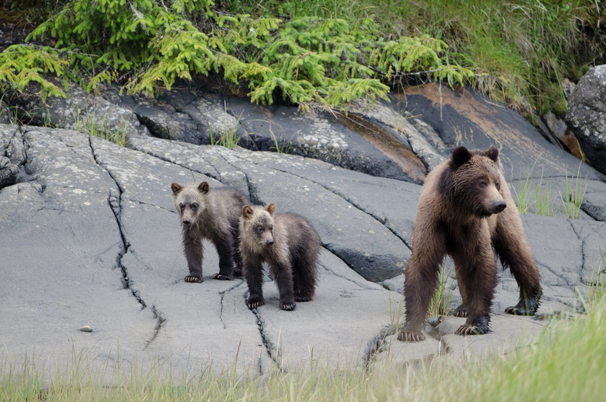 A grizzly mother and cubs patrol a Great Bear Rainforest shore. Photo by Ilja Herb. Click for larger image.