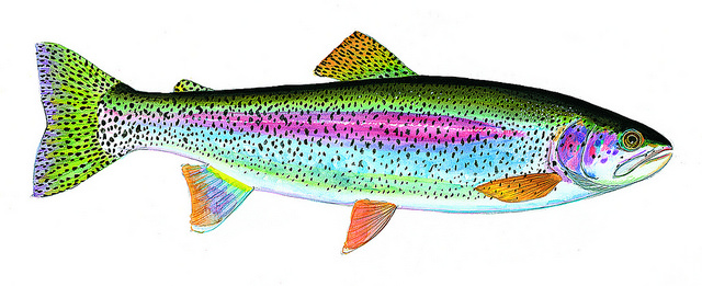 Rainbow trout. An illustration by James Prosek from the book.
