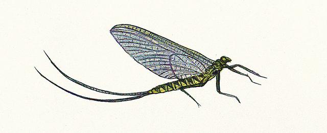 Illustration by James Prosek.