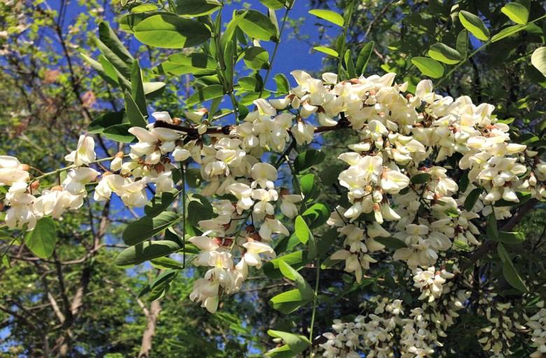Black locust in blossom.