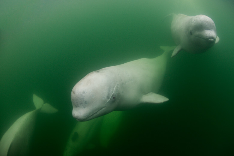 An underwater view of a beluga whales (Delphinapterus leucas).