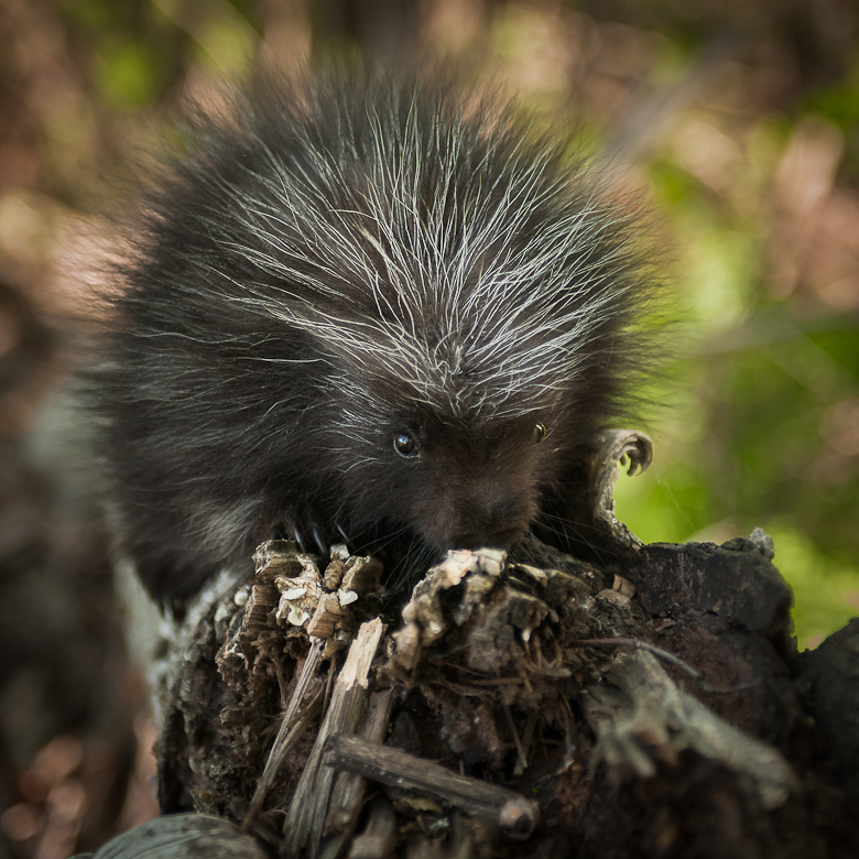 Baby Porcupine (Erethizon dorsatum) Sniffs at Branch - captive animal
