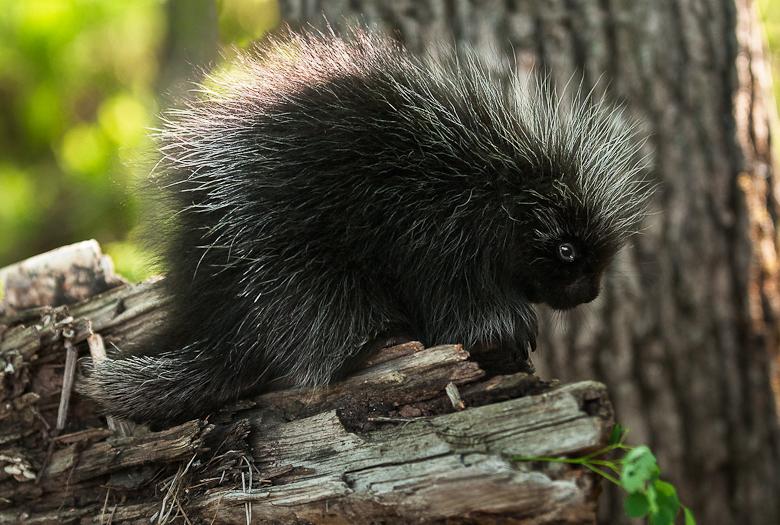 Baby Porcupine (Erethizon dorsatum) Stands on Branch - captive animal