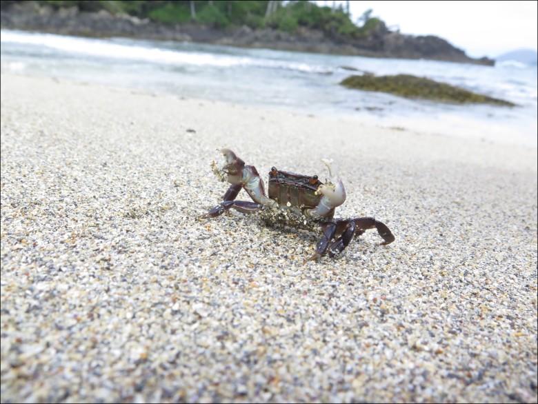 The Chuck Norris of beach crabs. Burak photo.