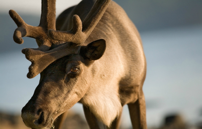 A Slate Islands woodland caribou. Photo by Ted Simonett.