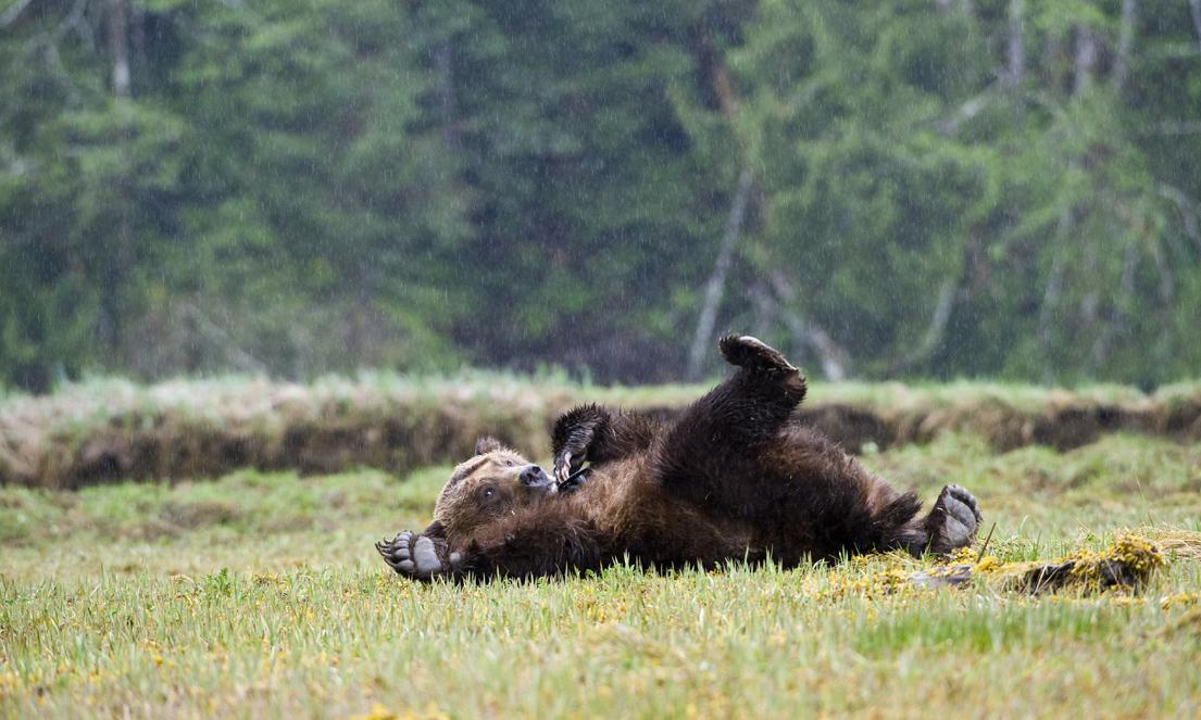 Grizzly Bear, ursus arctos horribilis, Khutzeymateen, British Columbia