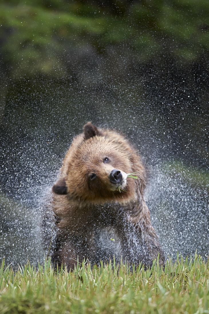 Grizzly Bear, ursus arctos horribilus, female shaking, Great Bear Rainforst, British Columbia