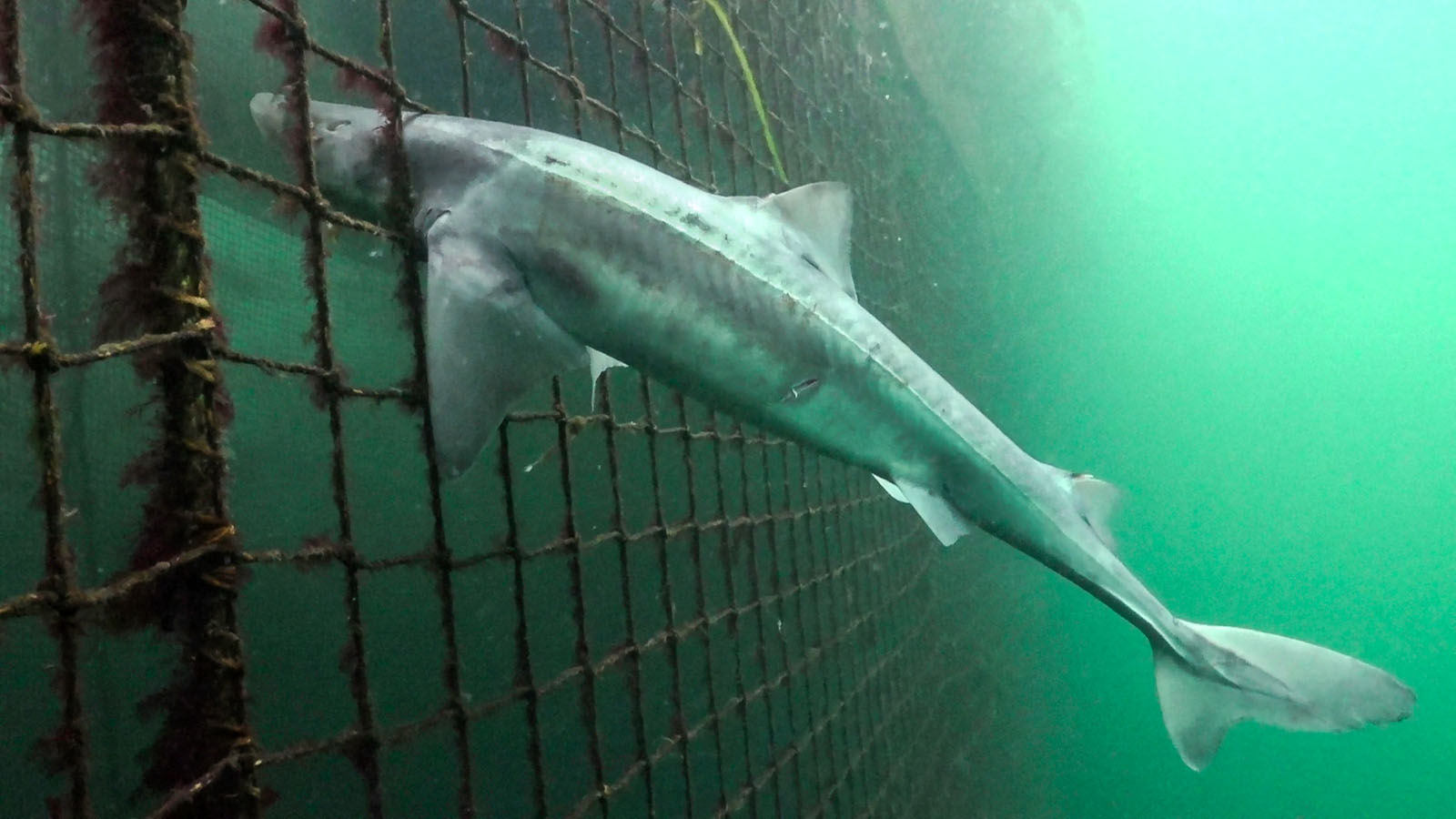 160828-sa-trapped-in-predator-net-dogfish-drowned-trying-to-reach-farmed-atlantic-salmon-835