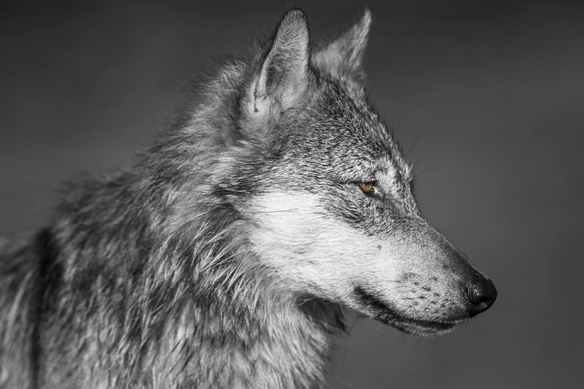 Close up of Wolf Face