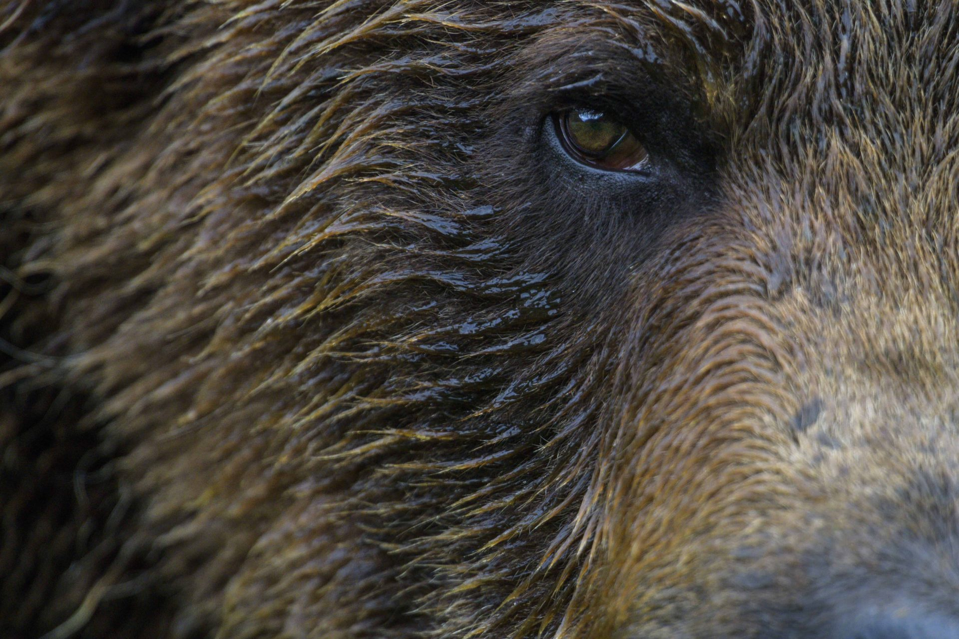 Close up of Grizzlies eye