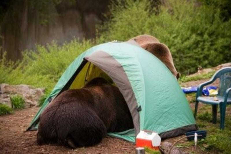 Bear in tent failure