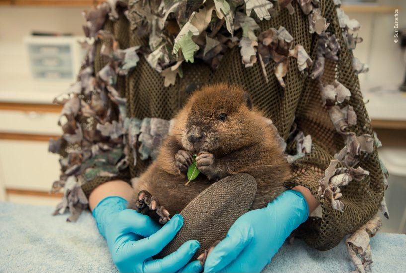 Baby Beaver