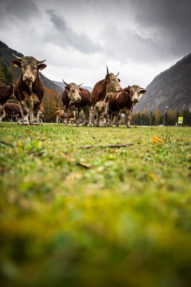 Cows in Slovenia
