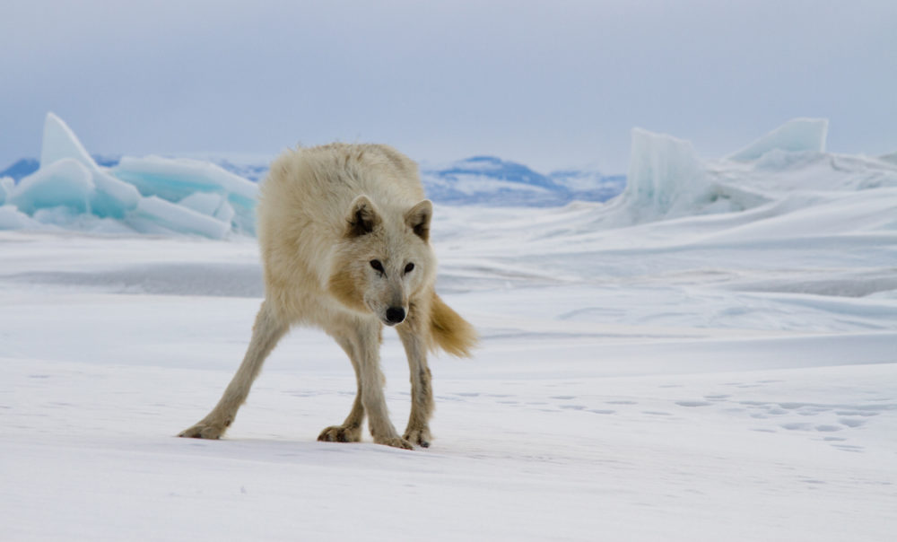 Photo of wolf on ice