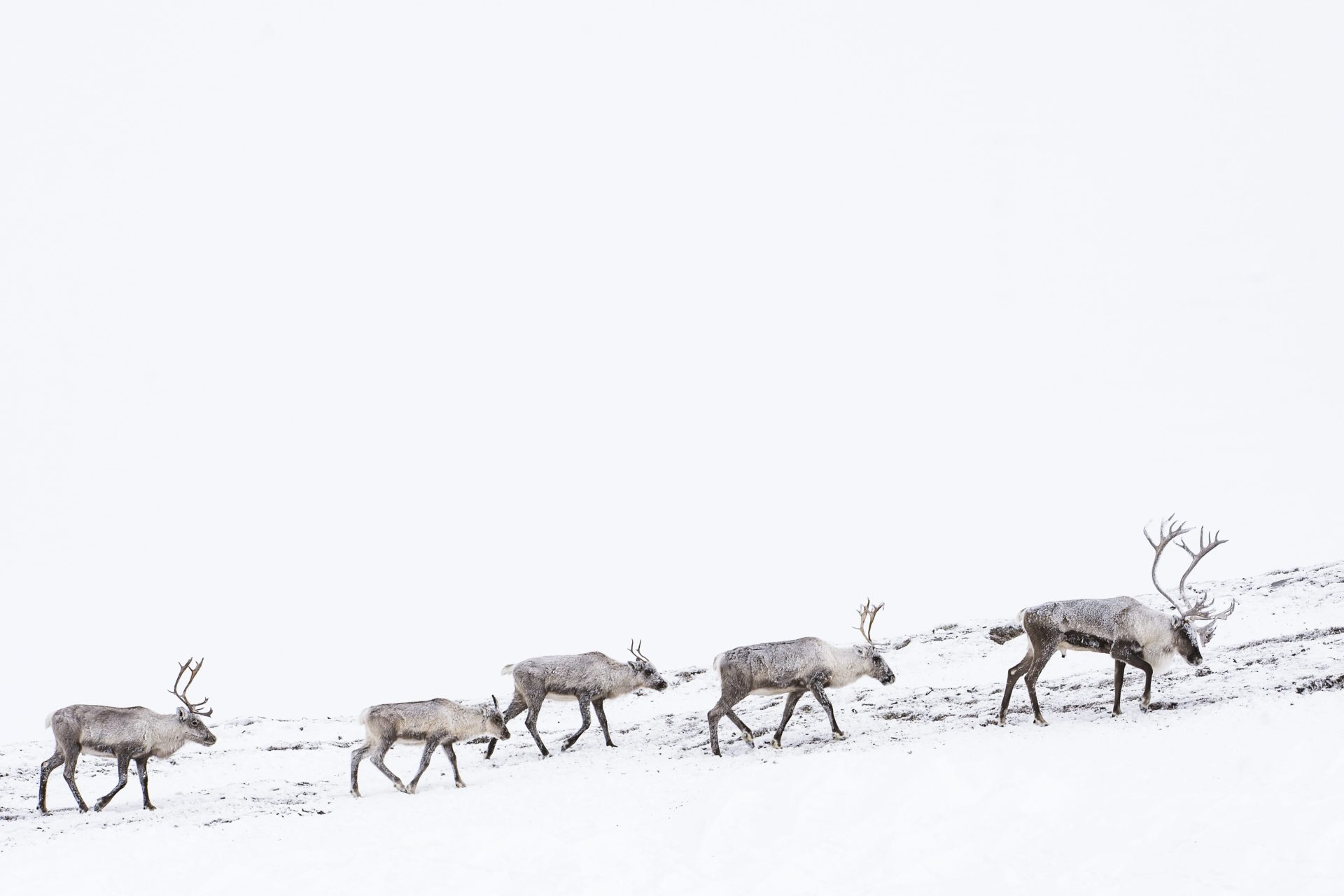 A bull caribou leading a group of caribou in Canada