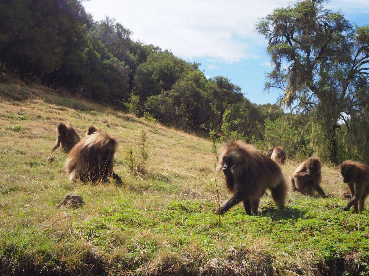 Trekking-Ethiopias-Simien-Mountains-Mafia-AK-47s-and-a-Park-at-Risk-Gelada-baboons