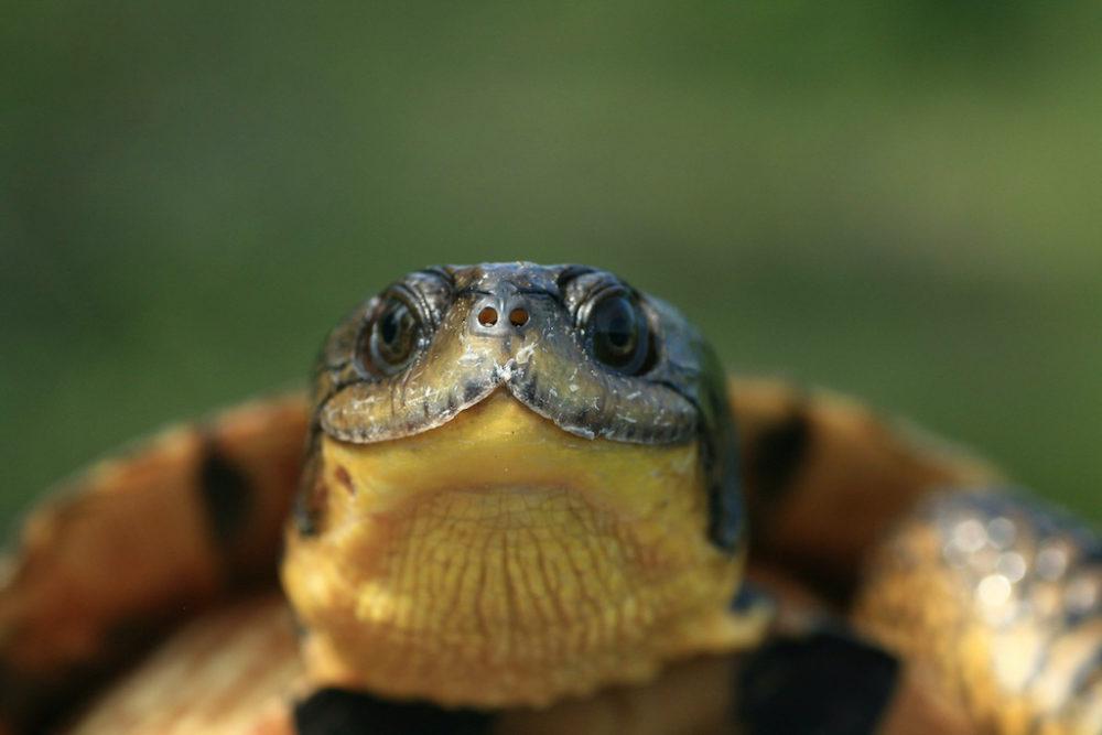 Where-the-Wild-Things-Are-Blandings-Turtle-Emydoidea-blandingii-PD-Moldowan