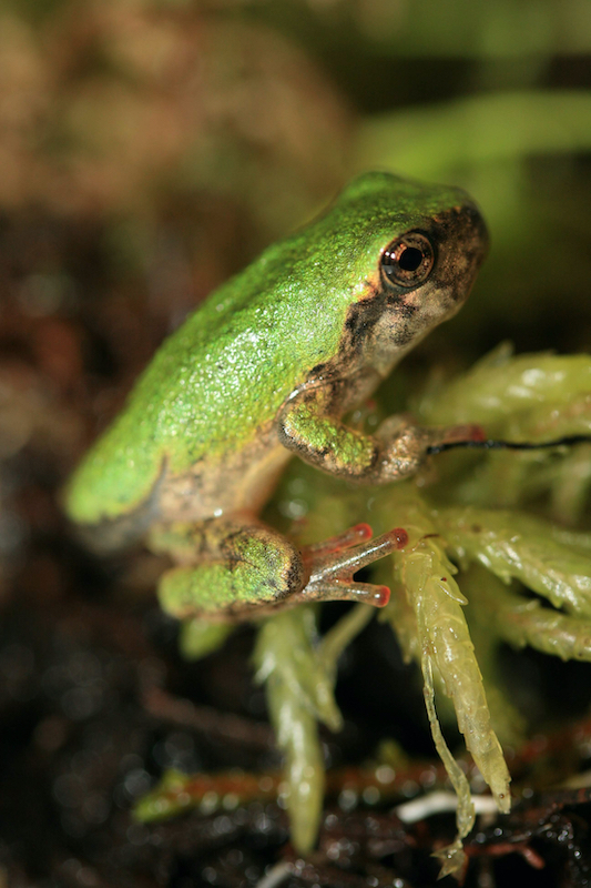 Where-the-Wild-Things-Are-Gray-Treefrog-Hyla versicolor-metamorph-juvenile-PD Moldowan