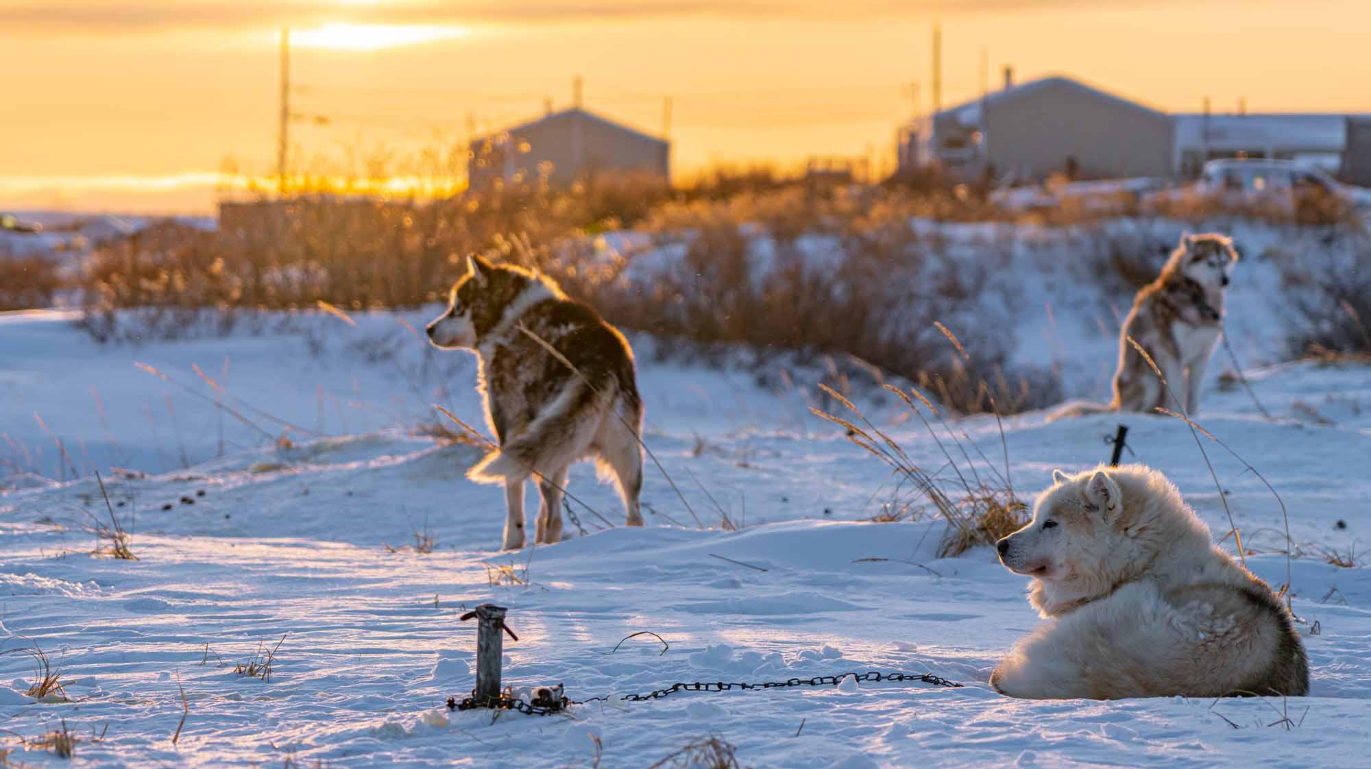 Arctique-quebecois-Lecons-de-Kuujjuaq-Quebecs-Arctic-Daniel-Keith-Cooper-NUNAVIK-2020-dogs