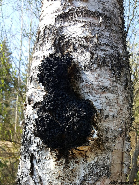 Crushing-Bugs-and-Slopes-this-Winter-chaga-on-birch-tree