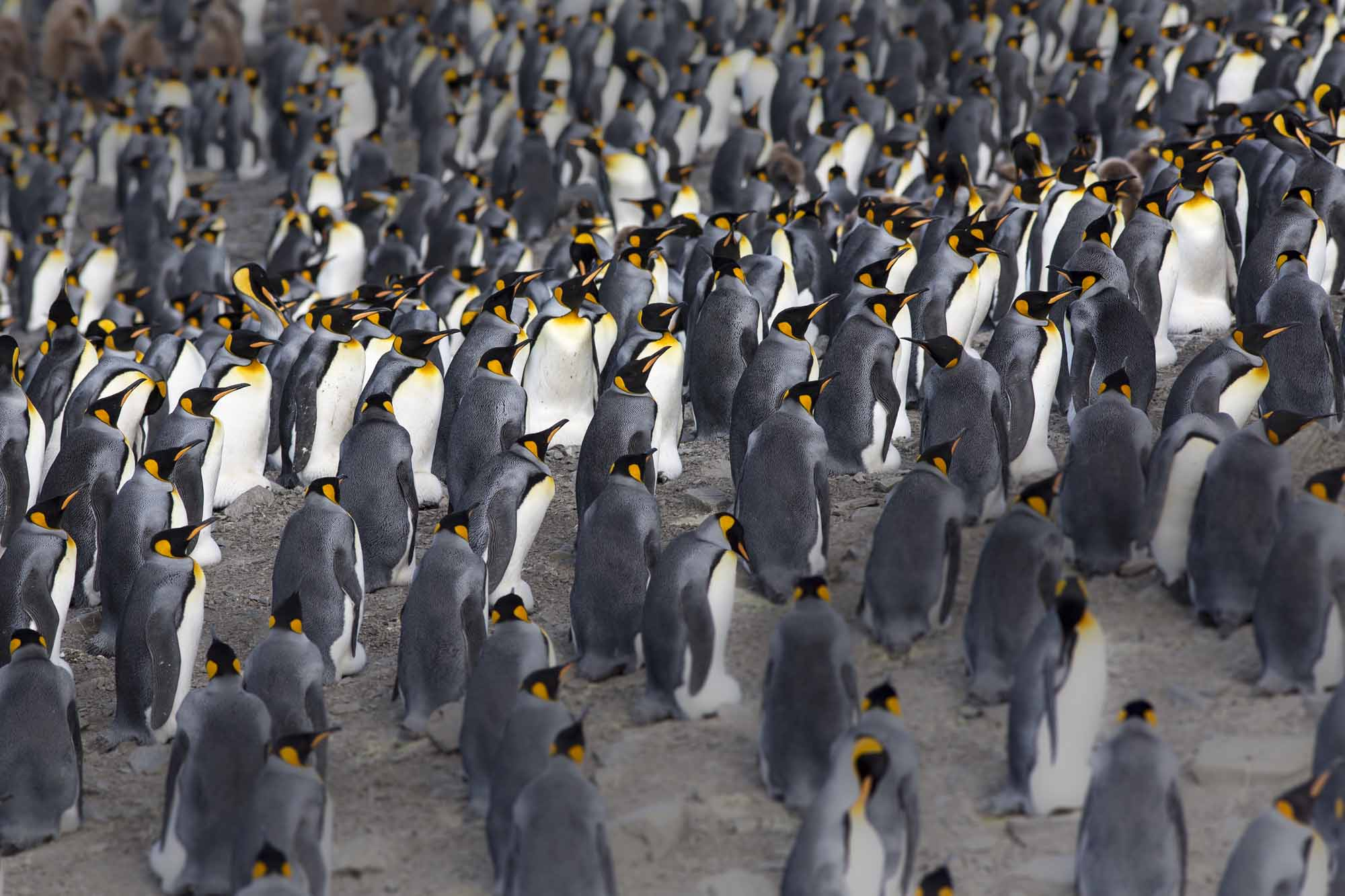 Island-of-Life-Restoring-and-Reclaiming-One-of-Earths-Most-Untamed-Places-photo-by-Ben-Haggar-massed-penguins