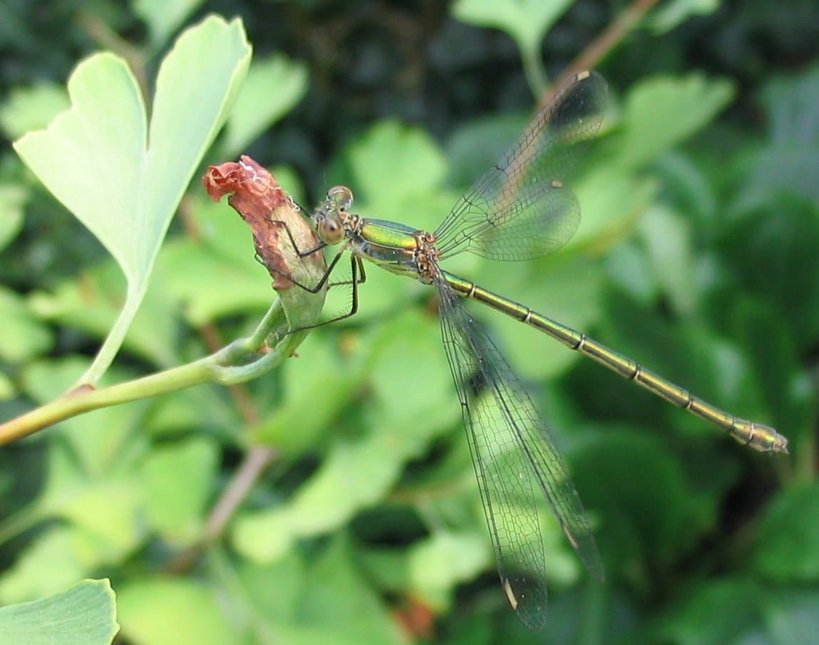 Dragon_fly_on_ginkgo-Roel-Schreurs-Wikimedia-commons