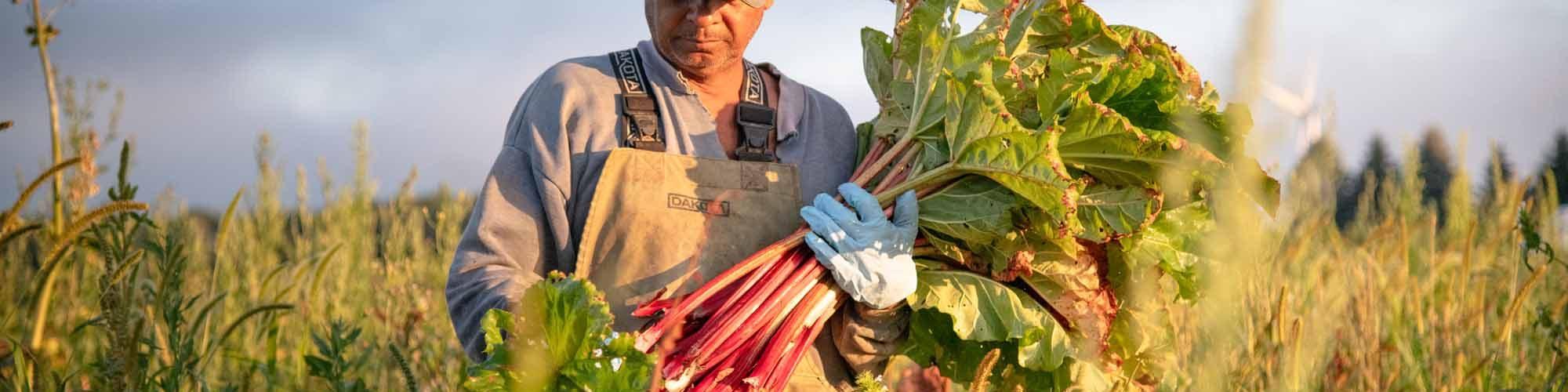 Fragile Harvest Documenting Family Farm Pandemic Paul Bettings rhubarb